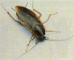 German cockroach picture
